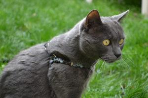 Figaro harnais caticross.