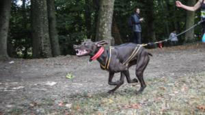 Laïka chienne puissante et rapide